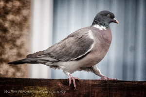 Woodpigeon (Columba palumbus) in the rain