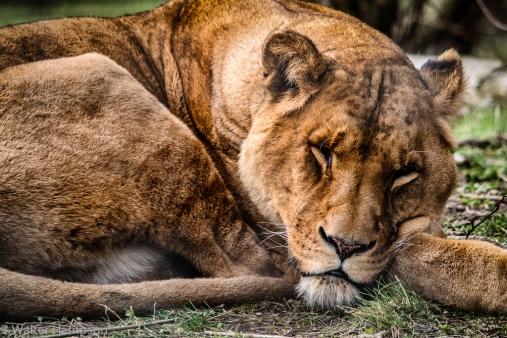 Ex Circus Lion